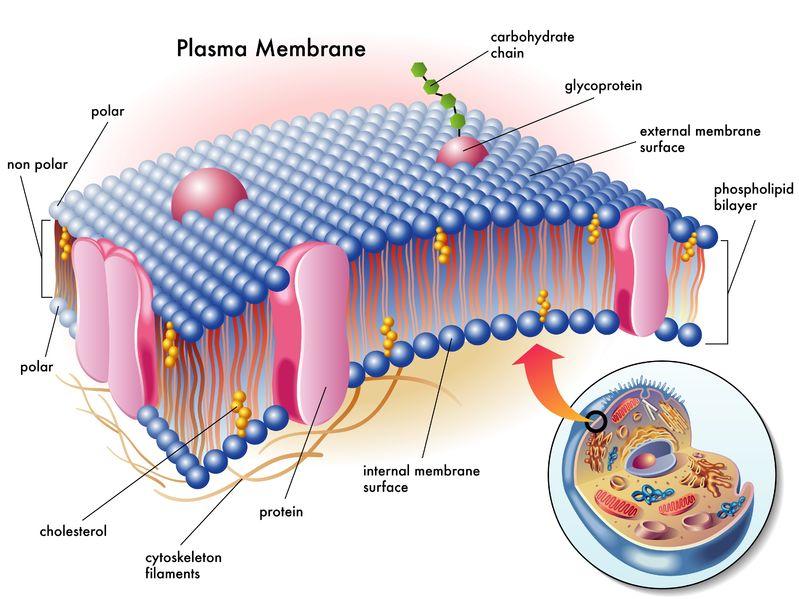 celle membran