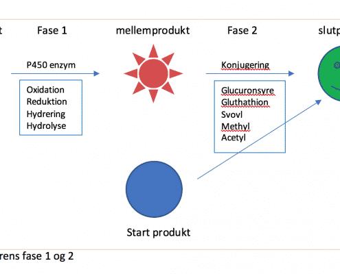 Leverens fase 1 og 2